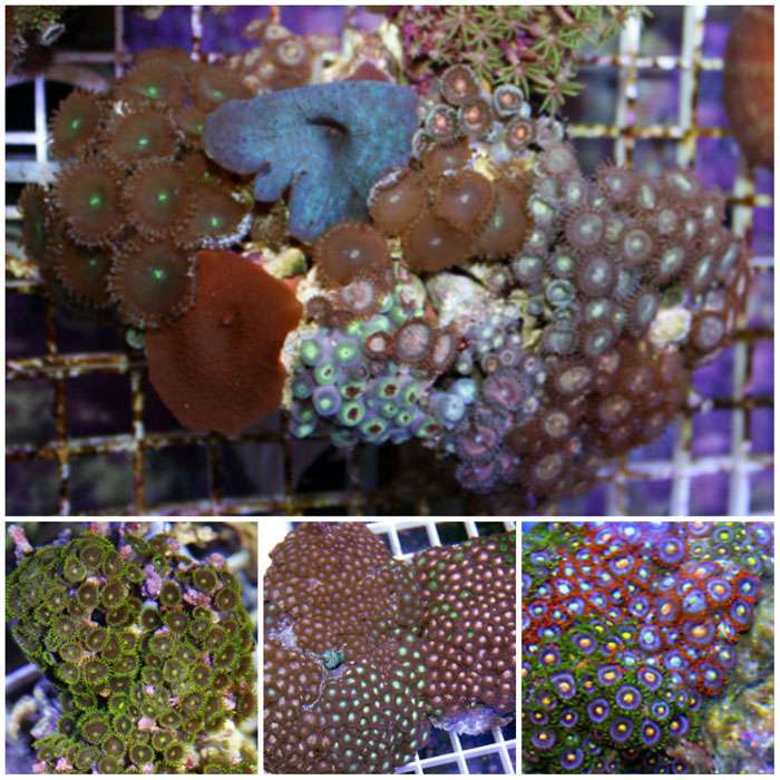 Assorted Polyp Rocks