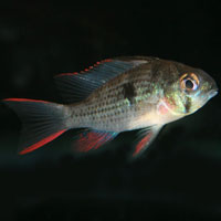 South/Central American Cichlids